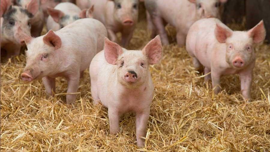В Днепропетровской области откроют крупную свиноферму