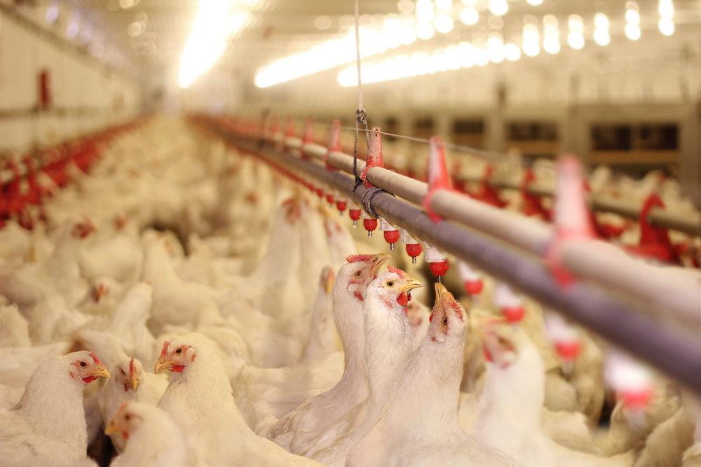 За год оптовые цены на курятину выросли на 20%
