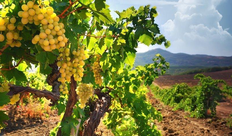 Россия уничтожает виноградники в Крыму — МинВОТ