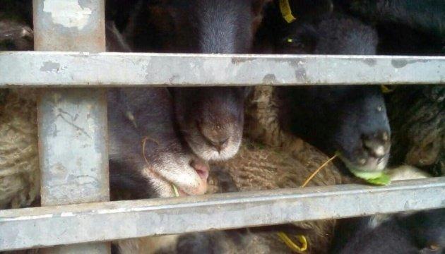 Как изменили правила перевозки животных после скандала с овцами в порту